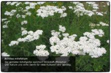 Achilea millefolium