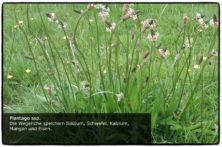 Plantago ssp